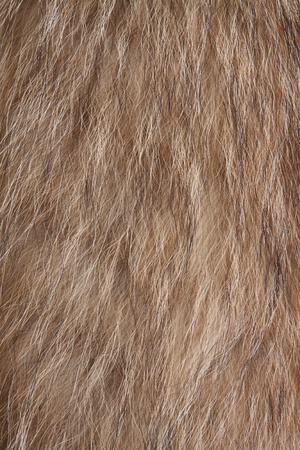Raccoon dog fur. Useful as texture or background photo