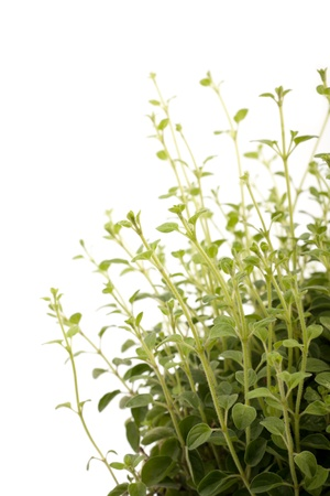 green oregano stems on a white background photo