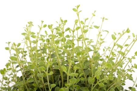green oregano stems on a white background Stock Photo - 11725666