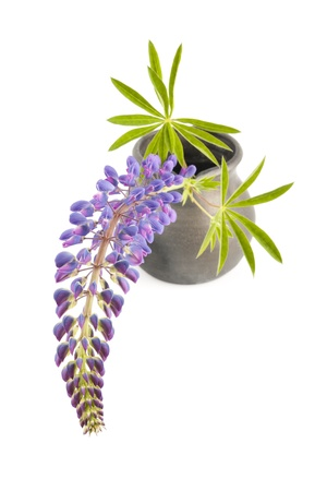 Lupin isolated on white background photo