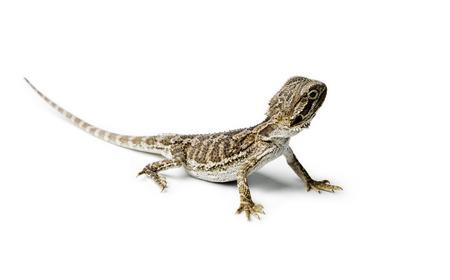 Agama. Baby Bearded Dragon on white background. Pogona vitticeps. Stockfoto