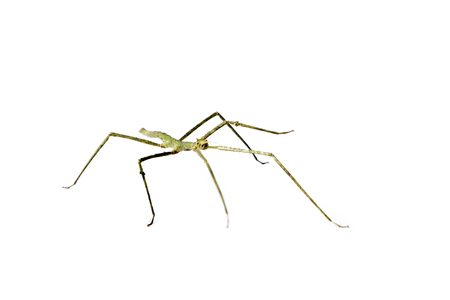 Annam Stick Insect. Annam Walking Stick - Medauroidea extradentata isolated on white. Walking or moving stick insect. Stock Photo