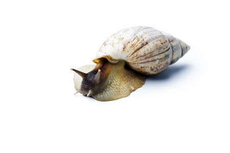 Giant african snail isolated on white background. Achatina fulica Standard-Bild