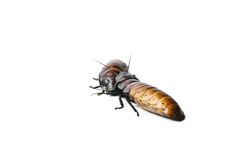 Madagascar hissing Cockroach. Madagascar hissing cockroach isolated on white background.