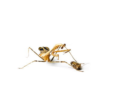 Praying mantis and cockroach isolated on white background. Predator and victim concept. Stock Photo