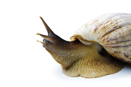 Giant african snail isolated on white background. Achatina fulica Stock Photo