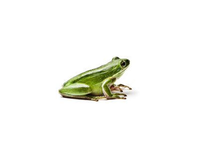 Wet american green tree frog isolated on white background. Hyla cinerea.