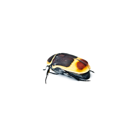 Congo Rose Beetle. Pachnoda marginata isolated on white.