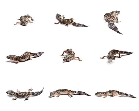 Close-up of a leopard gecko, isolated on white background. Set of Leopard gecko. Archivio Fotografico