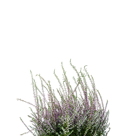 Common Heather. Purple heather flowers on bright background. Calluna vulgaris.