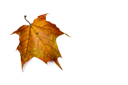 Autumn leaf isolated on white background. Colorful maple leaf. Stock Photo