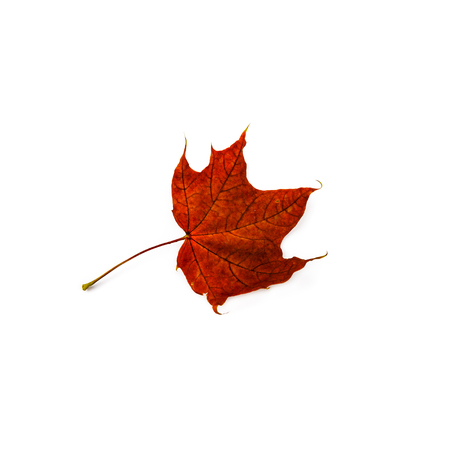 Autumn leaf isolated on white background. Colorful maple leaf. Standard-Bild