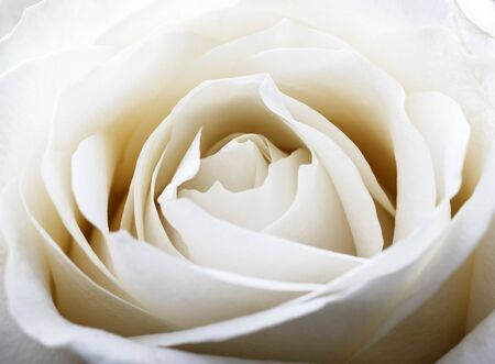 White rose. Flower as background. Macro.