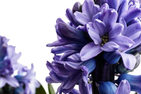 Hyacinth isolated on white background. Growing hyacinth flower buds. Spring flower. Reklamní fotografie