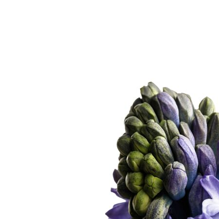 Hyacinth isolated on white background. Growing hyacinth flower buds. Spring flower. Banco de Imagens
