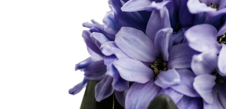 Hyacinth as background. Growing hyacinth flower buds. Spring flower. Macro. Reklamní fotografie