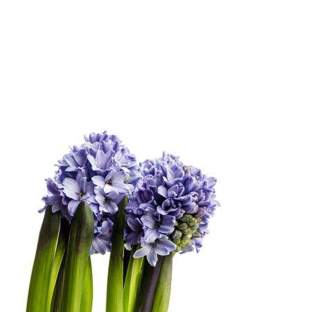 Hiacynt na białym tle. Rosnące pąki kwiatowe hiacyntu. Wiosenny kwiat.