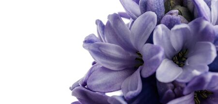 Hyacinth as background. Growing hyacinth flower buds. Spring flower. Macro. Banco de Imagens
