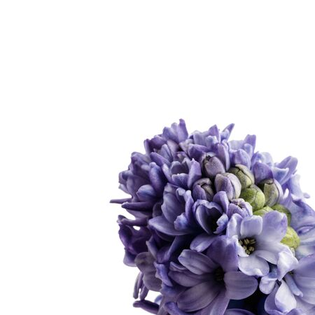 Hyacinth isolated on white background. Growing hyacinth flower buds. Spring flower.