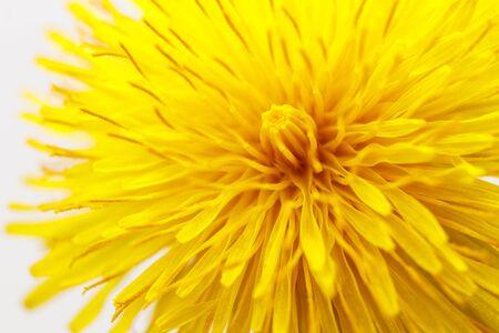 Dandelion flower head. Blooming dandelion yellow head on bright background. Macro photo