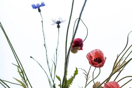 Red poppy flowers and cornflowers isolated on white background. Macro shot. Meadow.
