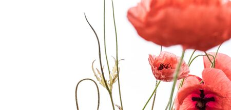 Red poppy flowers isolated on white background. Macro shot. Meadow.