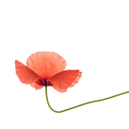 Bright red poppy flower isolated on white background.
