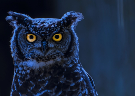 birds eye: Moonlight Owl