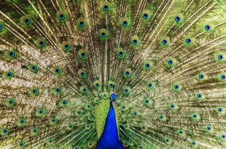 peacock wheel: Peacock Wheel