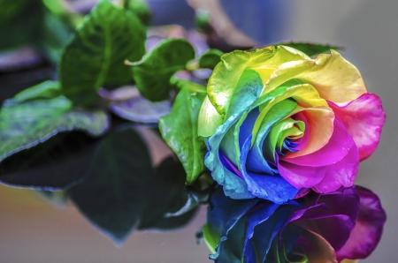 rosas amarillas: Reflexi�n Rainbow Rose