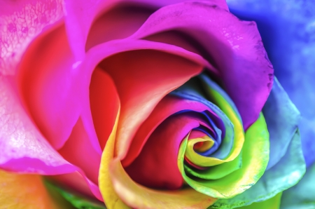 Rainbow Rose Close Up photo