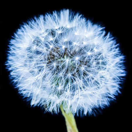 dandelion snow: Blue Dandelion Stock Photo