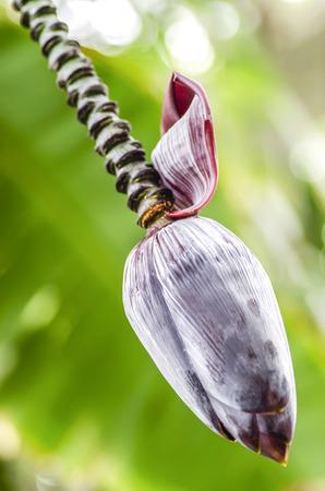 Bananen-Anlage Standard-Bild - 28468557