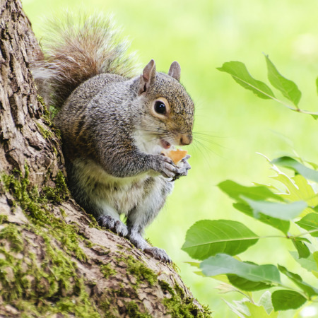 Smiling Squirrel Eating Standard-Bild - 30662771