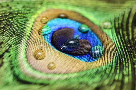 pluma: Peacock Peafowl Pluma