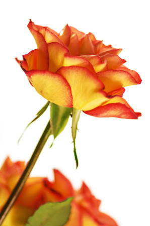 Autumn Splendor Rose Standard-Bild - 32453342
