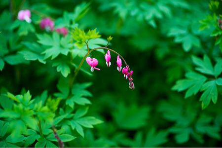hemorragias: Dicentra Spectabilis, flor del corazón sangrante
