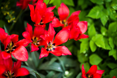 Red blooms and green leafs close-up Stock Photo