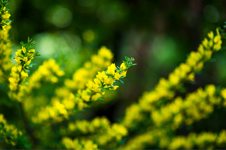 Blossoming of mimosa tree Acacia pycnantha, golden wattle close up in spring, bright yellow flowers, coojong, golden wreath wattle, orange wattle, blue-leafed wattle, acacia saligna Stock Photo
