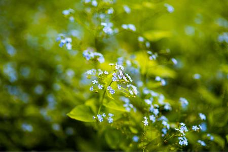 liverwort: Light blue withe flower of Liverleaf, Liverwort with pink stigmas Hepatica transsilvanica Rosea Lilacina in sun spot Stock Photo