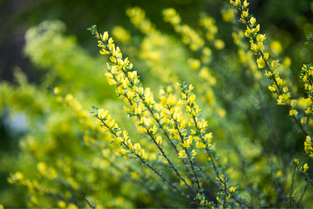 Acacia dealbata known as silver wattle, blue wattle or mimosa growing outdoors Stock Photo