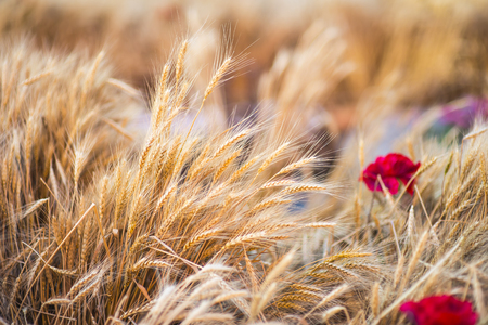 Wheat field with red floweres good for food advertising Stok Fotoğraf