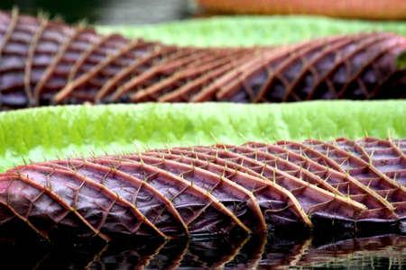 Pflanzen: Seerosenblatt
