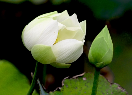 knospe: Lotus