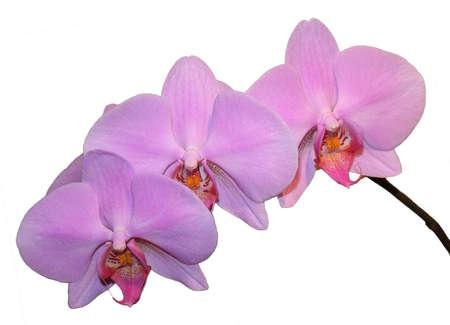 violett: violett farbene Orchidee auf wei�em HIntergrund