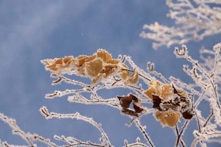 Photo of a winter branch of a birch with not fallen leaves covered with hoarfrost.