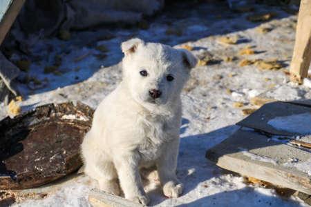 Sad puppy white husky sitting in winter near the cabin.