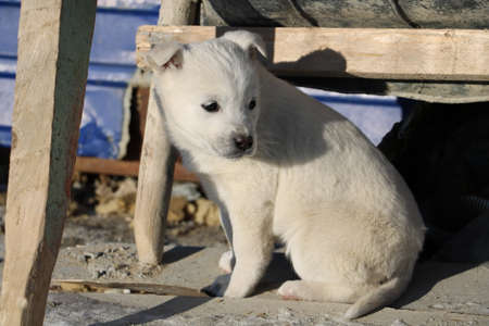 A photo of a sad white husky puppy Taken in winter on the territory of the Vostochny cosmodrome.