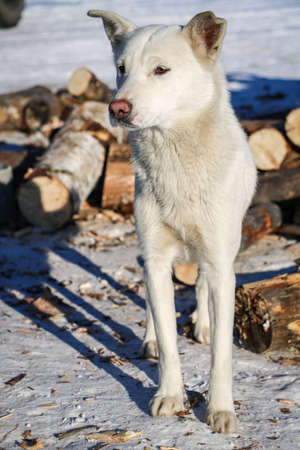 Photo of an adult dog, a white husky, Taken in winter on the territory of the Vostochny cosmodrome.