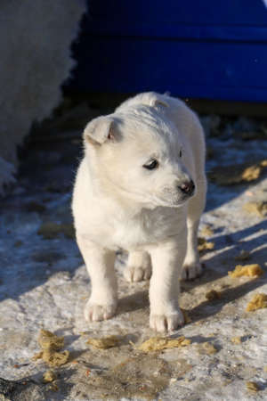 A photo of a white husky puppy Taken in winter on the territory of the Vostochny cosmodrome. Stock Photo